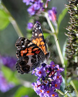 Painted Lady Landing