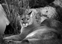 Lazing Mountain Lion
