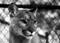 Cougar Monochrome